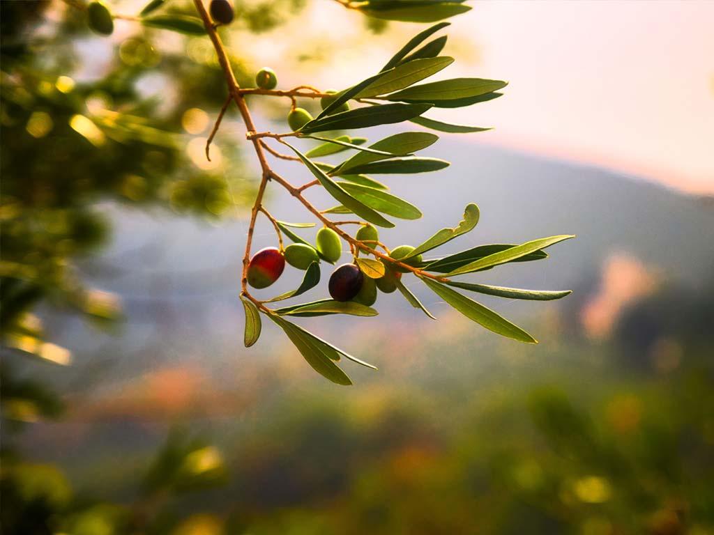 Olivenöl La Vida Verde